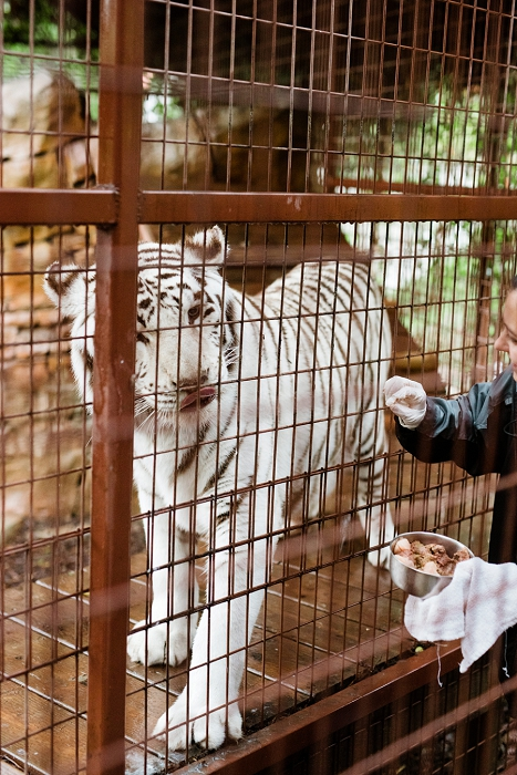 rancho las lomas white tiger